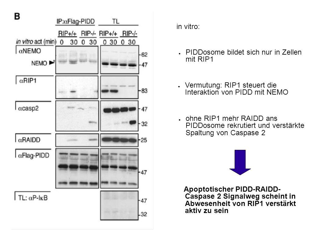 PIDDosome bildet sich nur in Zellen mit RIP1 Vermutung: RIP1 steuert die Interaktion von PIDD mit NEMO ohne RIP1 mehr RAIDD ans PIDDosome rekrutiert und verstärkte Spaltung von Caspase 2 Apoptotischer PIDD-RAIDD- Caspase 2 Signalweg scheint in Abwesenheit von RIP1 verstärkt aktiv zu sein in vitro:
