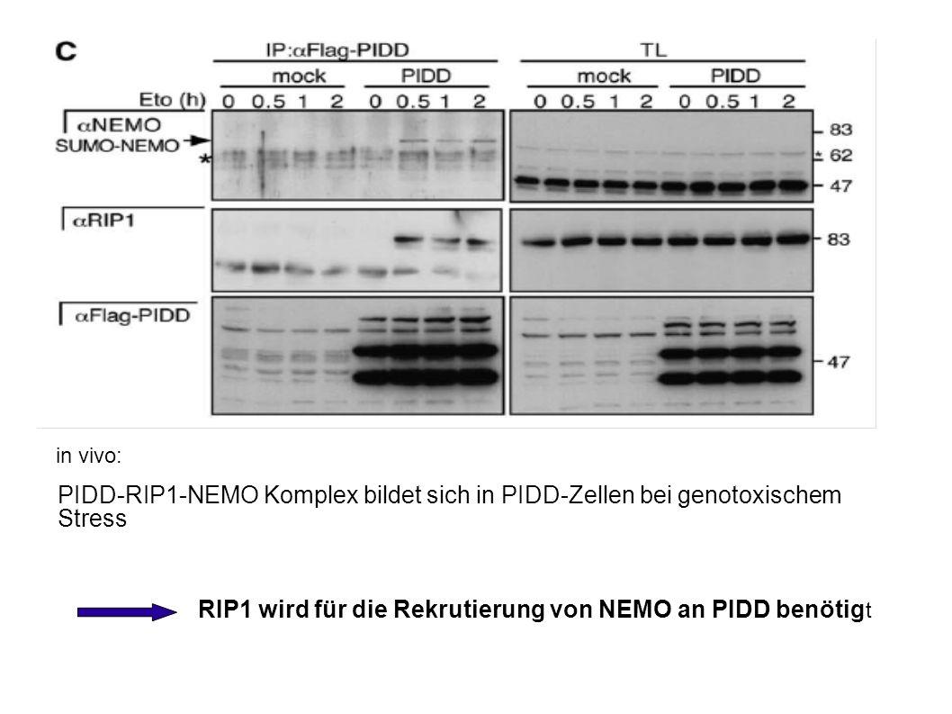 in vivo: PIDD-RIP1-NEMO Komplex bildet sich in PIDD-Zellen bei genotoxischem Stress RIP1 wird für die Rekrutierung von NEMO an PIDD benötig t