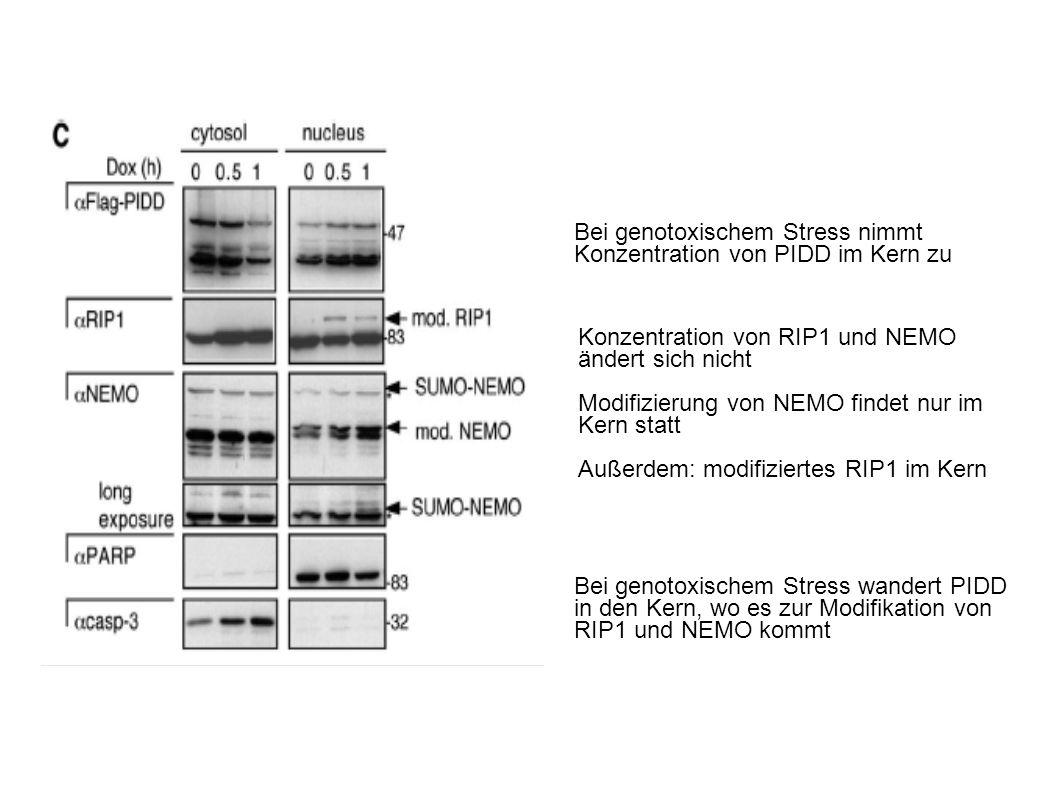 Bei genotoxischem Stress nimmt Konzentration von PIDD im Kern zu Konzentration von RIP1 und NEMO ändert sich nicht Modifizierung von NEMO findet nur im Kern statt Außerdem: modifiziertes RIP1 im Kern Bei genotoxischem Stress wandert PIDD in den Kern, wo es zur Modifikation von RIP1 und NEMO kommt