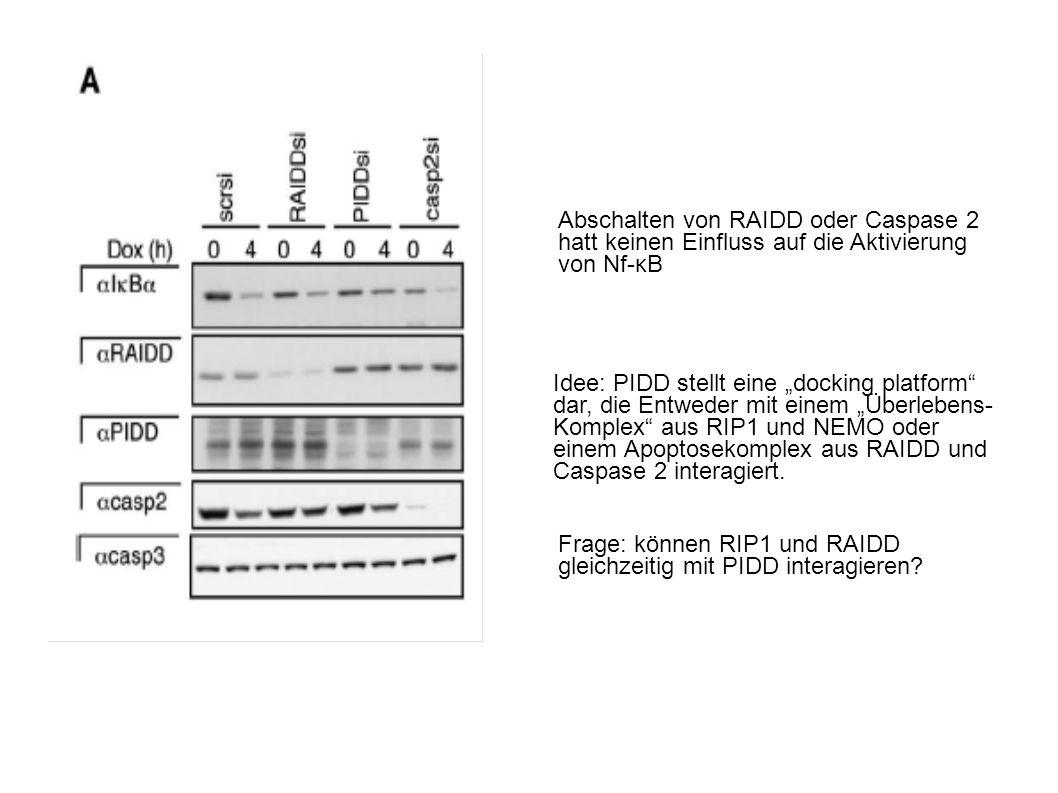 Abschalten von RAIDD oder Caspase 2 hatt keinen Einfluss auf die Aktivierung von Nf-κB Idee: PIDD stellt eine docking platform dar, die Entweder mit einem Überlebens- Komplex aus RIP1 und NEMO oder einem Apoptosekomplex aus RAIDD und Caspase 2 interagiert.