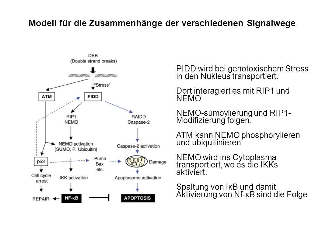 Modell für die Zusammenhänge der verschiedenen Signalwege PIDD wird bei genotoxischem Stress in den Nukleus transportiert.