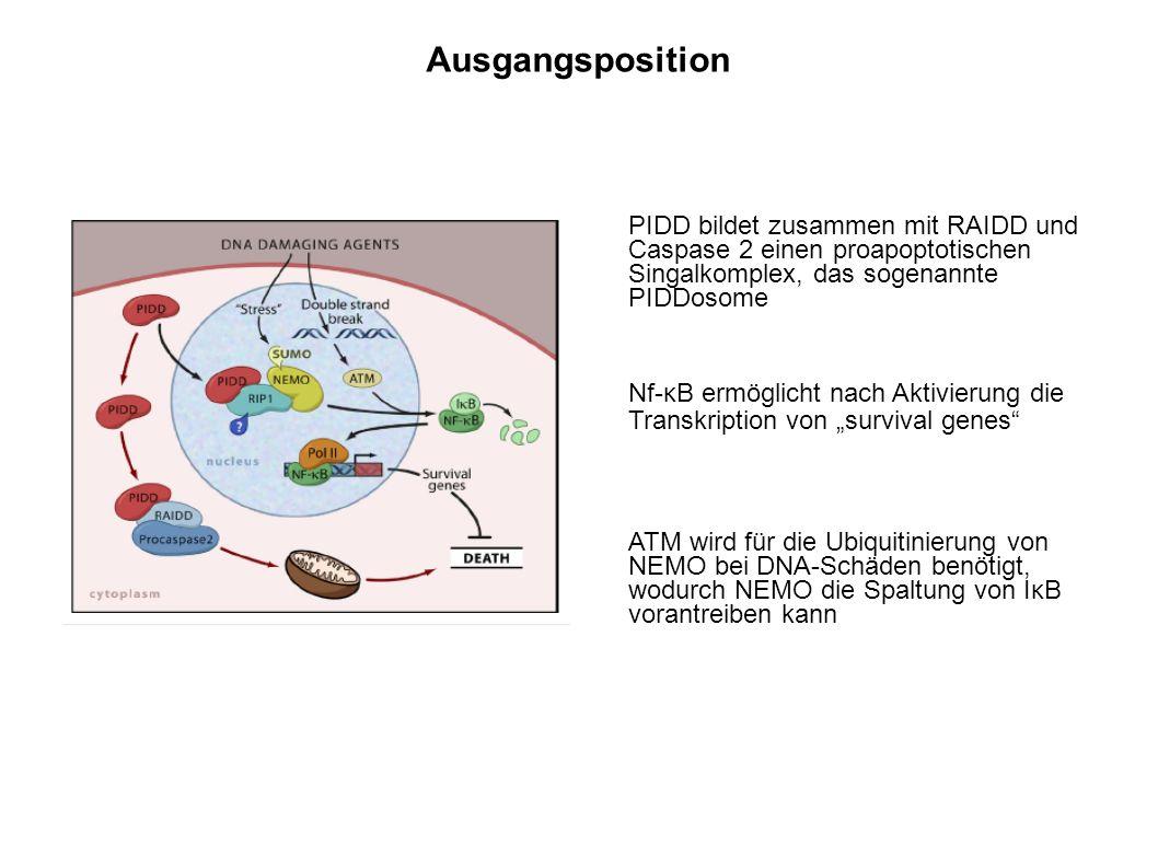 PIDD bildet zusammen mit RAIDD und Caspase 2 einen proapoptotischen Singalkomplex, das sogenannte PIDDosome Nf-κB ermöglicht nach Aktivierung die Transkription von survival genes ATM wird für die Ubiquitinierung von NEMO bei DNA-Schäden benötigt, wodurch NEMO die Spaltung von IκB vorantreiben kann