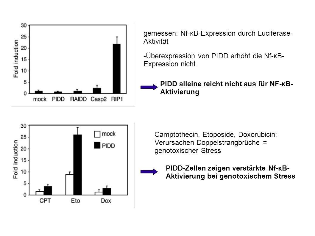 gemessen: Nf-κB-Expression durch Luciferase- Aktivität -Überexpression von PIDD erhöht die Nf-κB- Expression nicht PIDD alleine reicht nicht aus für NF-κB- Aktivierung Camptothecin, Etoposide, Doxorubicin: Verursachen Doppelstrangbrüche = genotoxischer Stress PIDD-Zellen zeigen verstärkte Nf-κB- Aktivierung bei genotoxischem Stress