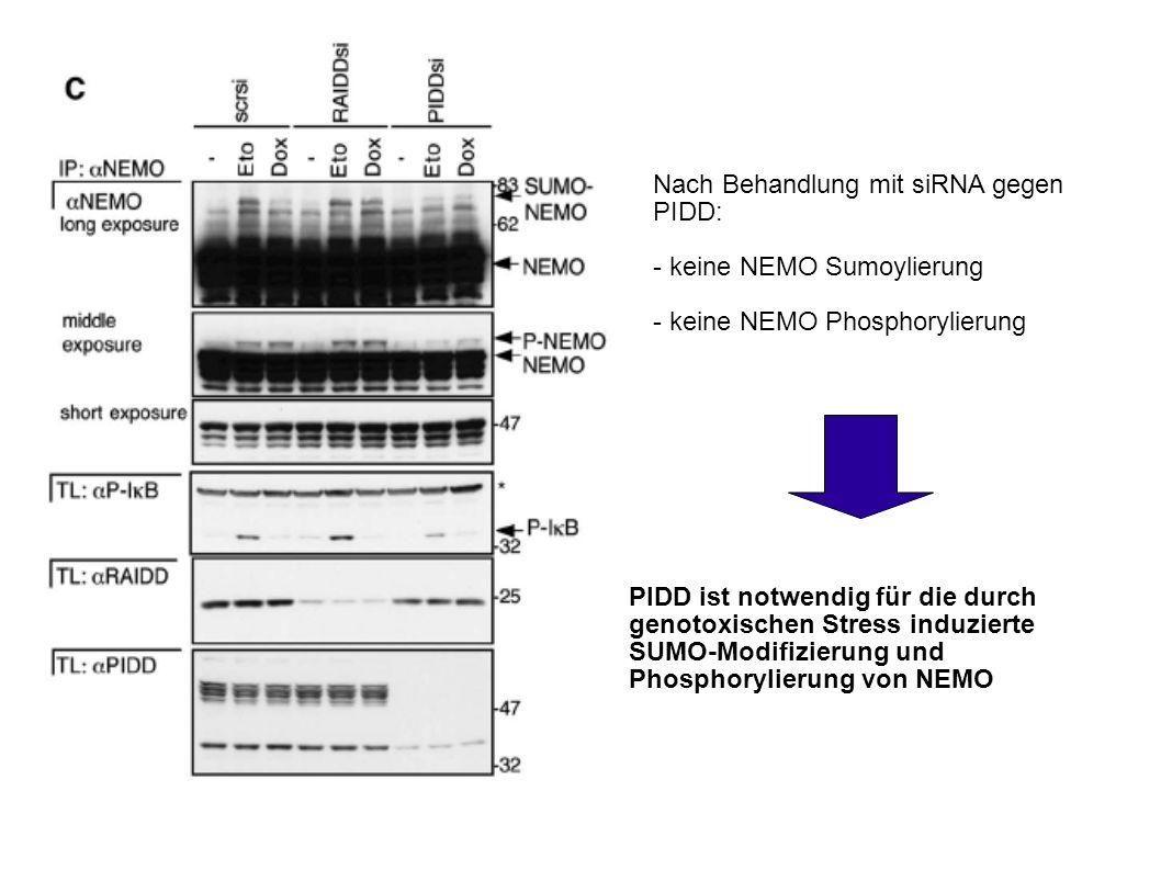 PIDD ist notwendig für die durch genotoxischen Stress induzierte SUMO-Modifizierung und Phosphorylierung von NEMO Nach Behandlung mit siRNA gegen PIDD: - keine NEMO Sumoylierung - keine NEMO Phosphorylierung