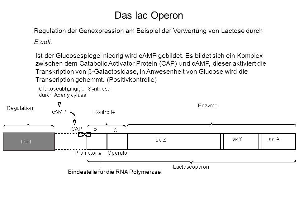 Das lac Operon Regulation der Genexpression am Beispiel der Verwertung von Lactose durch E.coli. Bindestelle für die RNA Polymerase Ist der Glucosespi