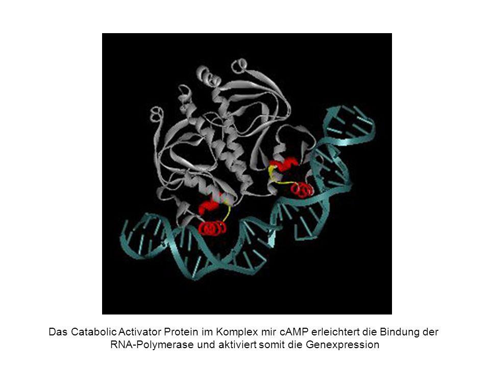 Das Catabolic Activator Protein im Komplex mir cAMP erleichtert die Bindung der RNA-Polymerase und aktiviert somit die Genexpression