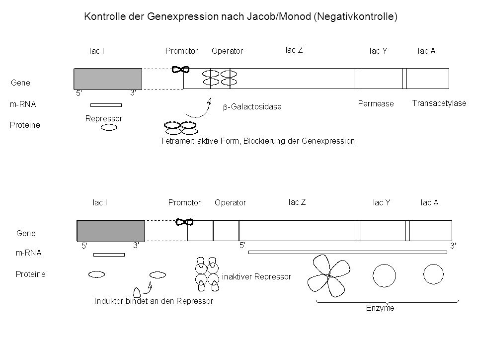 Kontrolle der Genexpression nach Jacob/Monod (Negativkontrolle)