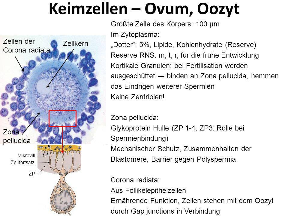 Keimzellen – Ovum, Oozyt Zellen der Corona radiata Zellkern Zona pellucida Größte Zelle des Körpers: 100 μm Im Zytoplasma: Dotter: 5%, Lipide, Kohlenh