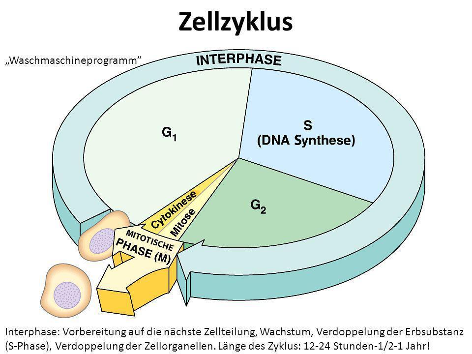 Zellzyklus Interphase: Vorbereitung auf die nächste Zellteilung, Wachstum, Verdoppelung der Erbsubstanz (S-Phase), Verdoppelung der Zellorganellen. Lä