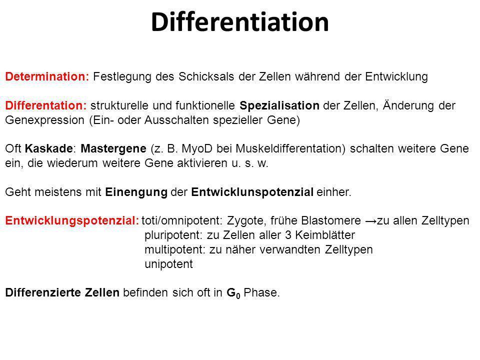 Differentiation Determination: Festlegung des Schicksals der Zellen während der Entwicklung Differentation: strukturelle und funktionelle Spezialisati