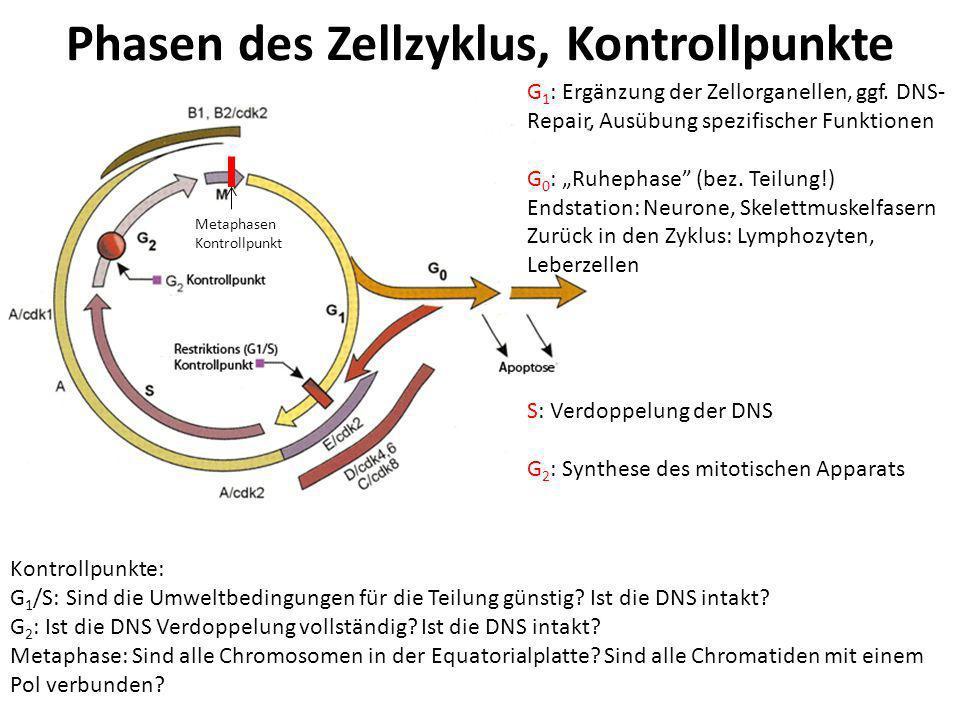 Kontrolle des Zellzyklus – Cycline et Co.