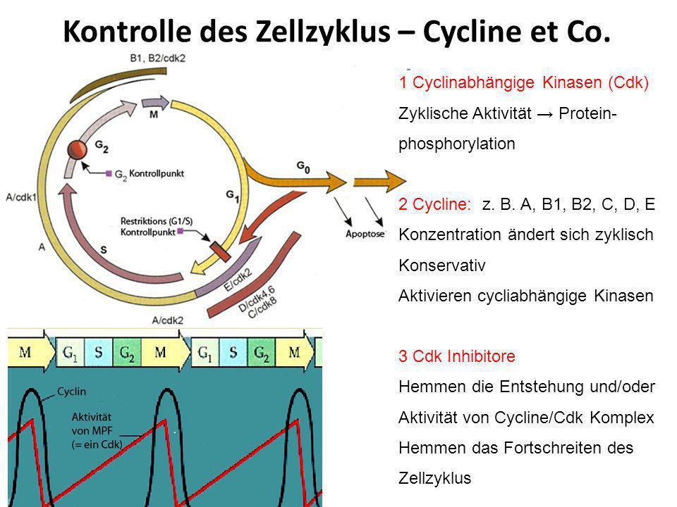 Kontrolle des Zellzyklus –Wachstumsfaktore Protoonkogene, Tumor Suppressor-Gene Zusammenspiel positiver und negativer Wirkungen Wachstumsfaktore (growth factors): Polypeptide, parakrine Wirkung durch Membranrezeptore Signaltransduktionskette meistens Aktivierung des Zellzyklus z.