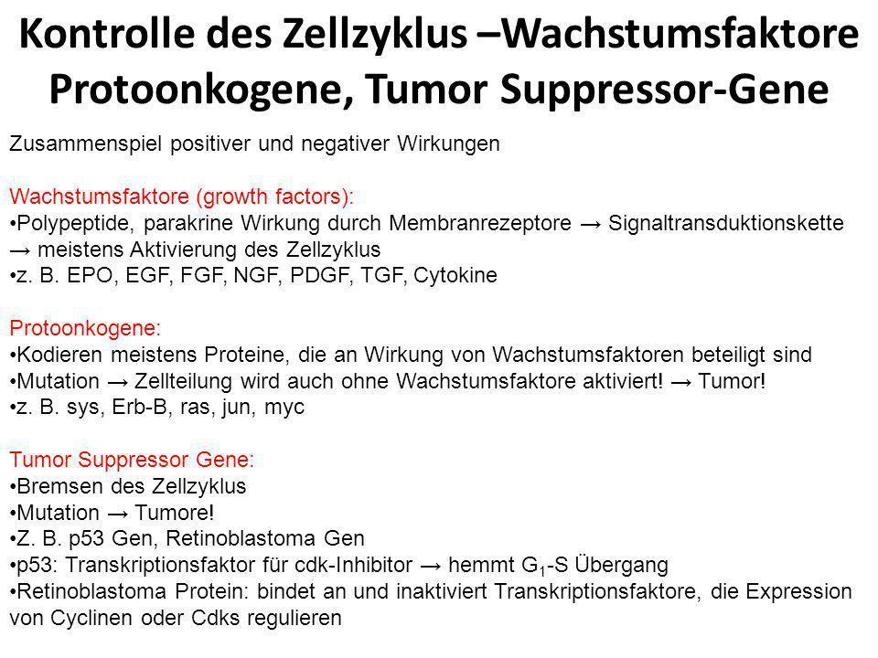 Kontrolle des Zellzyklus –Wachstumsfaktore Protoonkogene, Tumor Suppressor-Gene Zusammenspiel positiver und negativer Wirkungen Wachstumsfaktore (grow