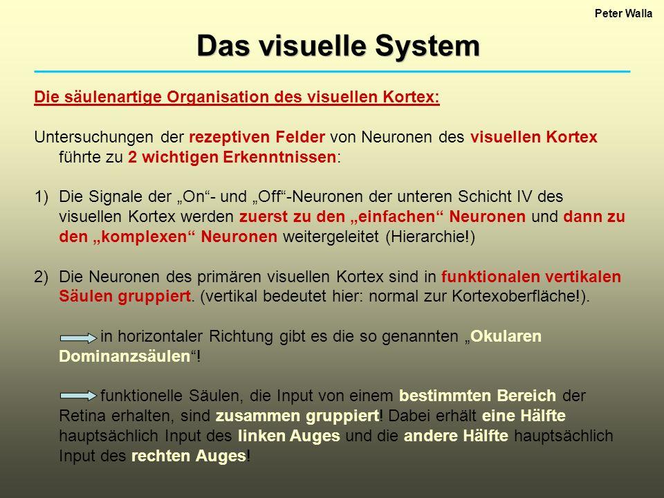 Peter Walla Das visuelle System Die säulenartige Organisation des visuellen Kortex: Untersuchungen der rezeptiven Felder von Neuronen des visuellen Ko