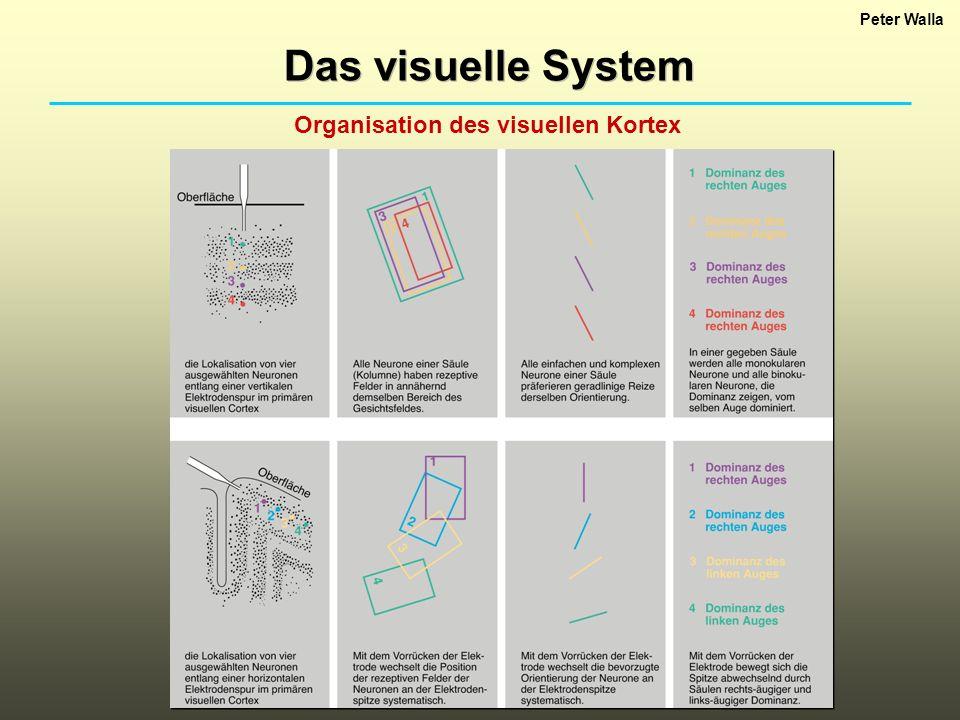Peter Walla Das visuelle System Organisation des visuellen Kortex