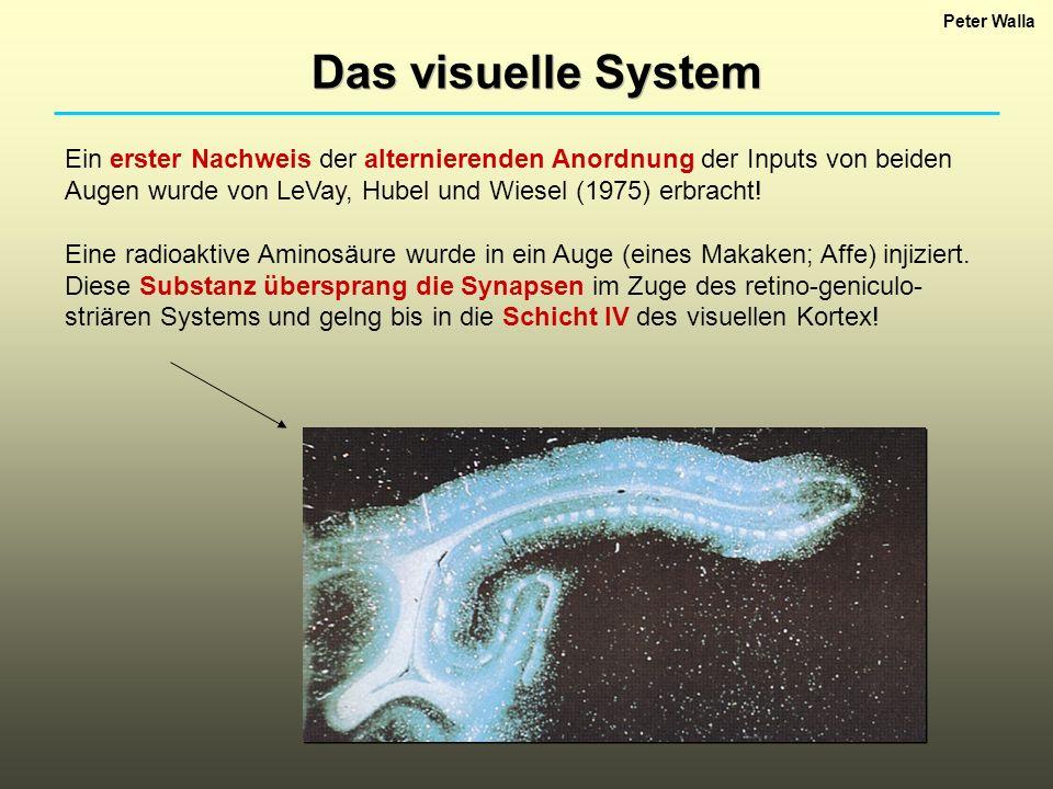 Peter Walla Das visuelle System Ein erster Nachweis der alternierenden Anordnung der Inputs von beiden Augen wurde von LeVay, Hubel und Wiesel (1975)