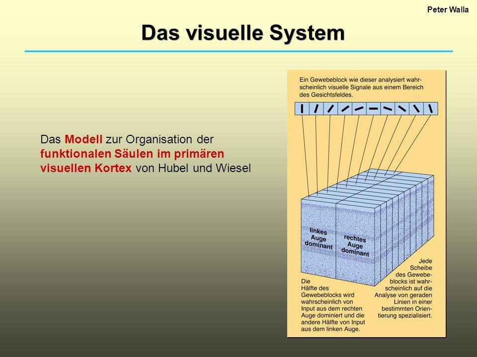 Peter Walla Das visuelle System Das Modell zur Organisation der funktionalen Säulen im primären visuellen Kortex von Hubel und Wiesel