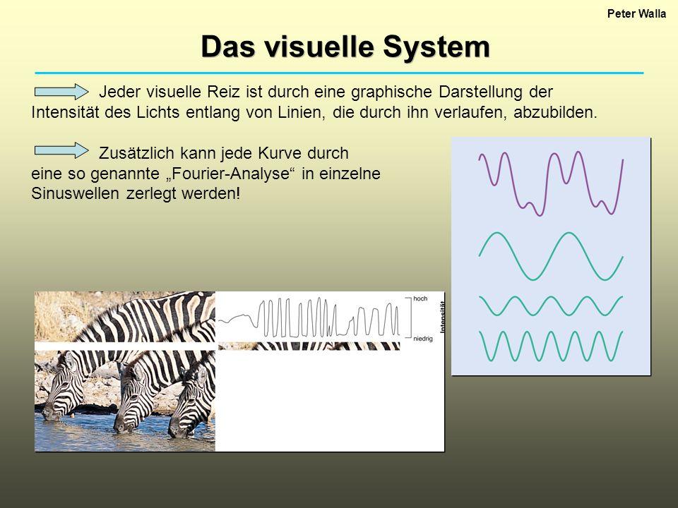 Peter Walla Das visuelle System Jeder visuelle Reiz ist durch eine graphische Darstellung der Intensität des Lichts entlang von Linien, die durch ihn