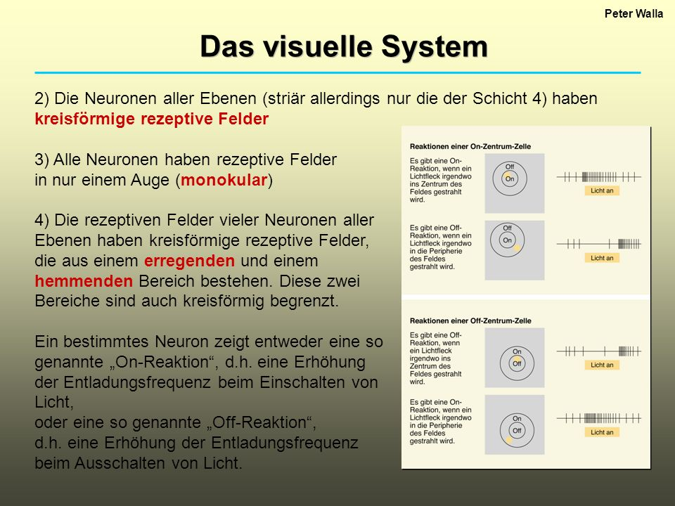 Peter Walla Das visuelle System 2) Die Neuronen aller Ebenen (striär allerdings nur die der Schicht 4) haben kreisförmige rezeptive Felder 3) Alle Neu