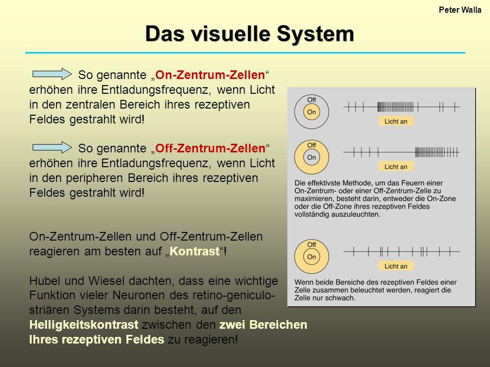 Peter Walla Das visuelle System So genannte On-Zentrum-Zellen erhöhen ihre Entladungsfrequenz, wenn Licht in den zentralen Bereich ihres rezeptiven Fe