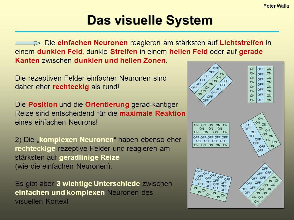 Peter Walla Das visuelle System Die einfachen Neuronen reagieren am stärksten auf Lichtstreifen in einem dunklen Feld, dunkle Streifen in einem hellen