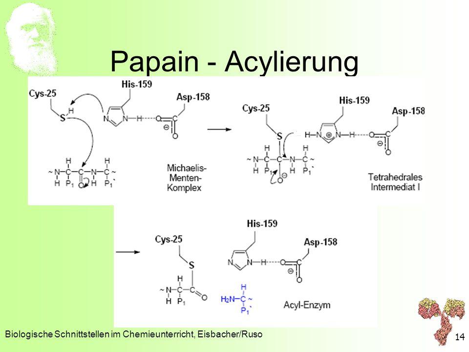 Papain - Acylierung Biologische Schnittstellen im Chemieunterricht, Eisbacher/Ruso 14