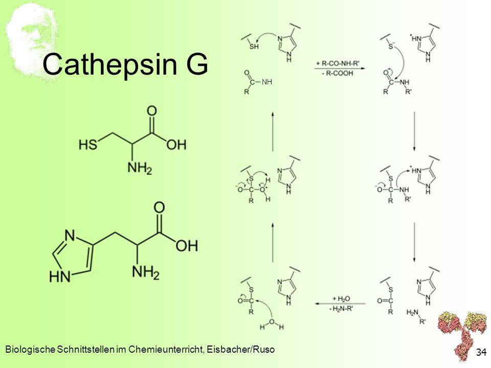 Cathepsin G Biologische Schnittstellen im Chemieunterricht, Eisbacher/Ruso 34 NH