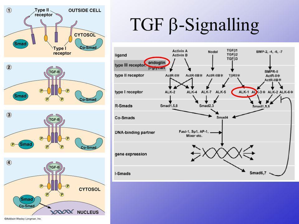 Endoglin Dominant-negativ: verkürztes Protein interagiert mit TGF oder TGF R => Störung des Signalling mutierte Proteine werden nur intrazellulär gefunden und können nicht mit TGF interagieren aber: 1 Mutation ( GC Exon 11) mit dominant-negativer Wirkung beschrieben (Lux 2000) Haploinsuffizienz: 50% Reduktion des oberflächlichen Proteins, gilt für die meisten Mutationen (favorisiertes Modell, Bourdeau 2000) Second Hit: könnte Prädilektionsstellen (Gesicht) erklären Reduzierte Endoglin-Expression in normalem Endothel