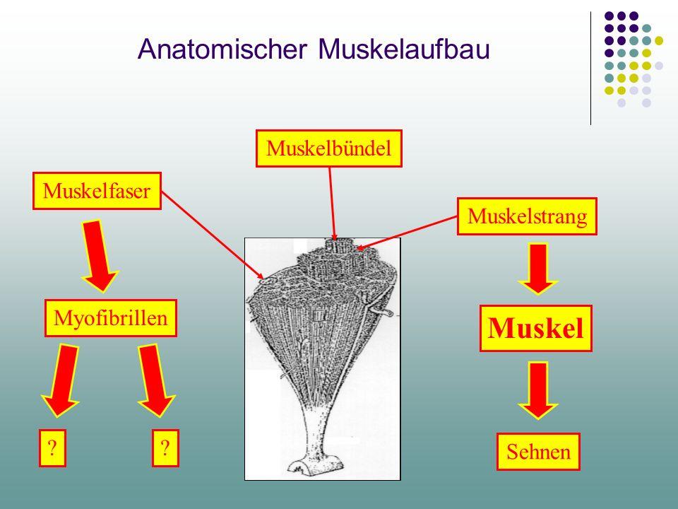 Anatomischer Muskelaufbau Muskelfaser Muskelbündel Muskelstrang Myofibrillen Sehnen Muskel ??
