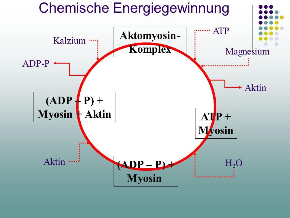 Biochemischer Prozess Die chemische Energie wird durch Spalten des im Myosin enthaltenen ATP (Adenosin- Triphosphat) in ADP und saures Phosphat gewonn