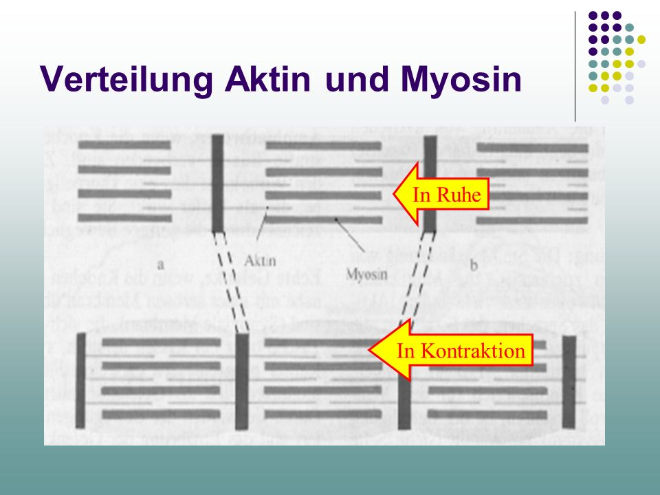 Verteilung Aktin und Myosin In Ruhe In Kontraktion