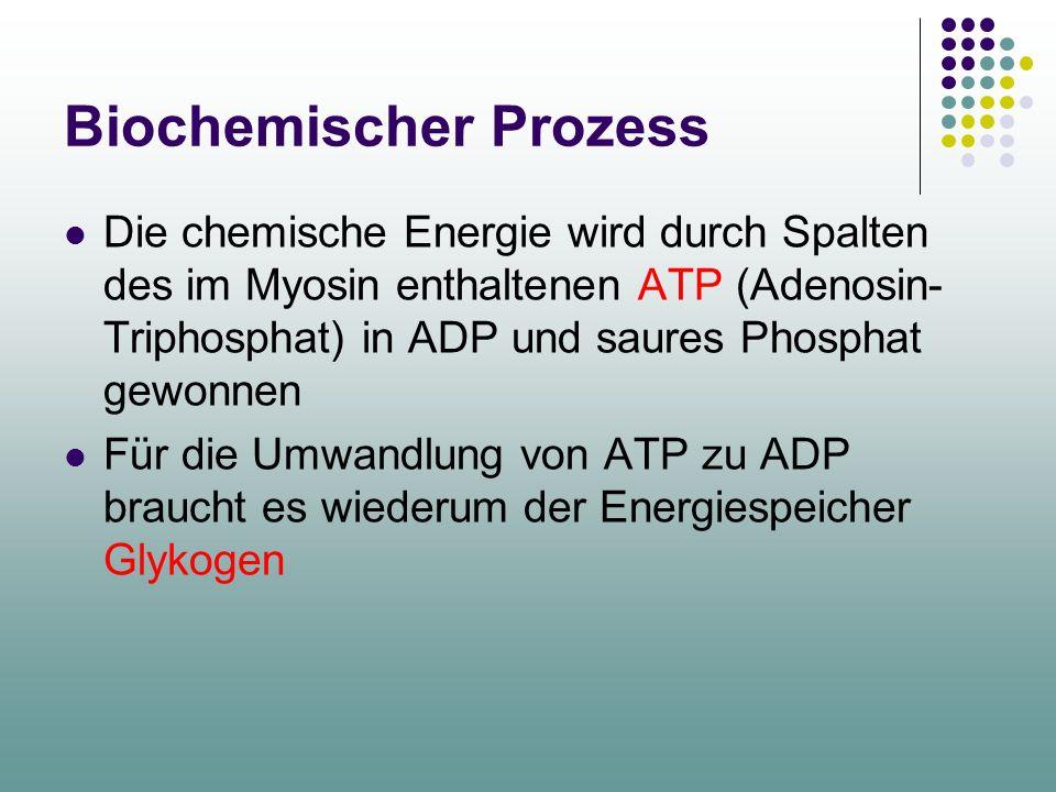 Biochemischer Prozess Die chemische Energie wird durch Spalten des im Myosin enthaltenen ATP (Adenosin- Triphosphat) in ADP und saures Phosphat gewonnen Für die Umwandlung von ATP zu ADP braucht es wiederum der Energiespeicher Glykogen