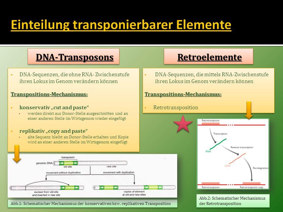 Einteilung nach: Fähigkeit zur Retrotransposition aus eigener Kraft Vorhandensein von flankierenden, repititiven Sequenzen Einteilung nach: Fähigkeit zur Retrotransposition aus eigener Kraft Vorhandensein von flankierenden, repititiven Sequenzen Nicht-autonome Retroelemente kodieren für keine Proteine und können sich nur mit Hilfe jener der autonomen Elemente bewegen Nicht-autonome Retroelemente kodieren für keine Proteine und können sich nur mit Hilfe jener der autonomen Elemente bewegen Autonome Retroelemente kodieren selbst für die Proteine, die für ihre Mobilität verantwortlich sind Autonome Retroelemente kodieren selbst für die Proteine, die für ihre Mobilität verantwortlich sind LTR-freie-RetroelementeLTR-freie-Retroelemente Long Terminal Repeat (LTR)-Retroelemente Retroviren mit funktionsfähigem env-Gen für ProteinhülleRetroviren