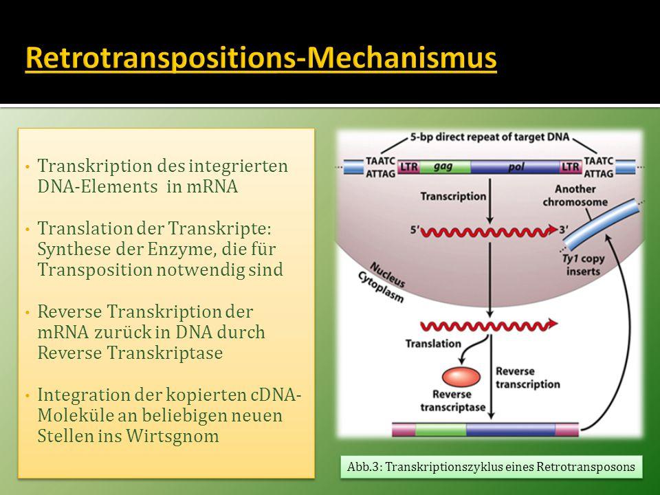 Transkription des integrierten DNA-Elements in mRNA Translation der Transkripte: Synthese der Enzyme, die für Transposition notwendig sind Reverse Tra