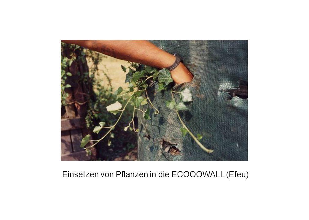 Einsetzen von Pflanzen in die ECOOOWALL (Efeu)