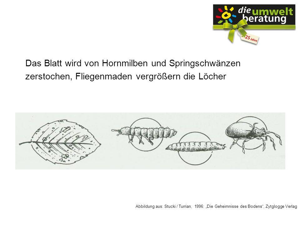 Das Blatt wird von Hornmilben und Springschwänzen zerstochen, Fliegenmaden vergrößern die Löcher Abbildung aus: Stucki / Turrian, 1996: Die Geheimniss