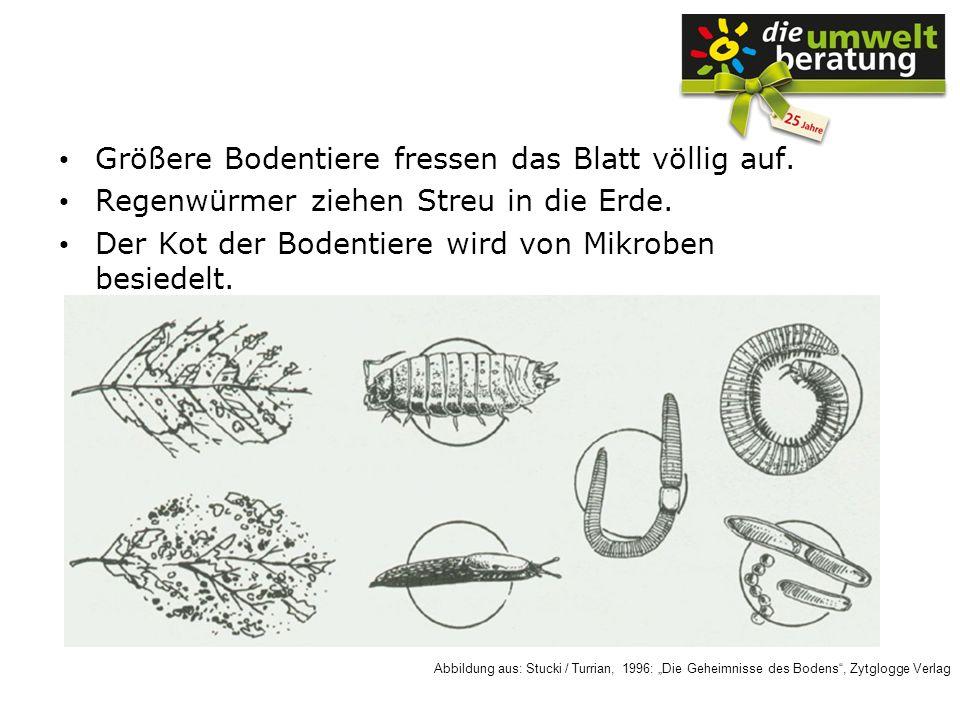 Größere Bodentiere fressen das Blatt völlig auf. Regenwürmer ziehen Streu in die Erde. Der Kot der Bodentiere wird von Mikroben besiedelt. Abbildung a