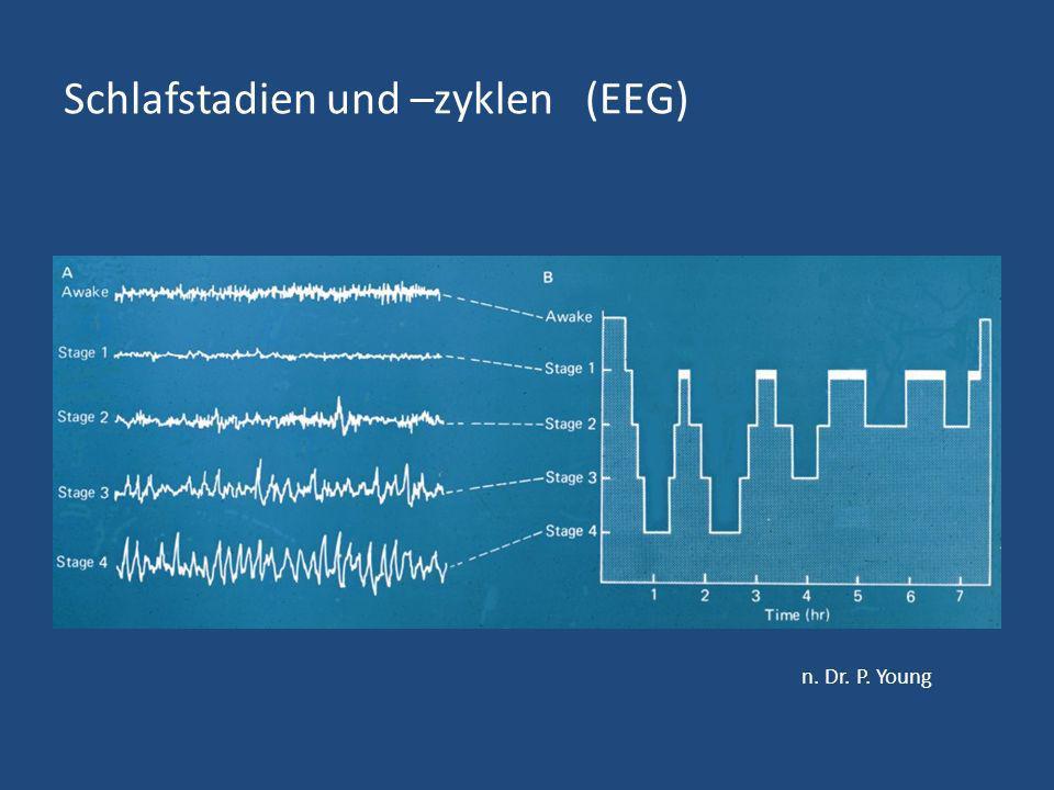 Schlafstadien und –zyklen (EEG) n. Dr. P. Young