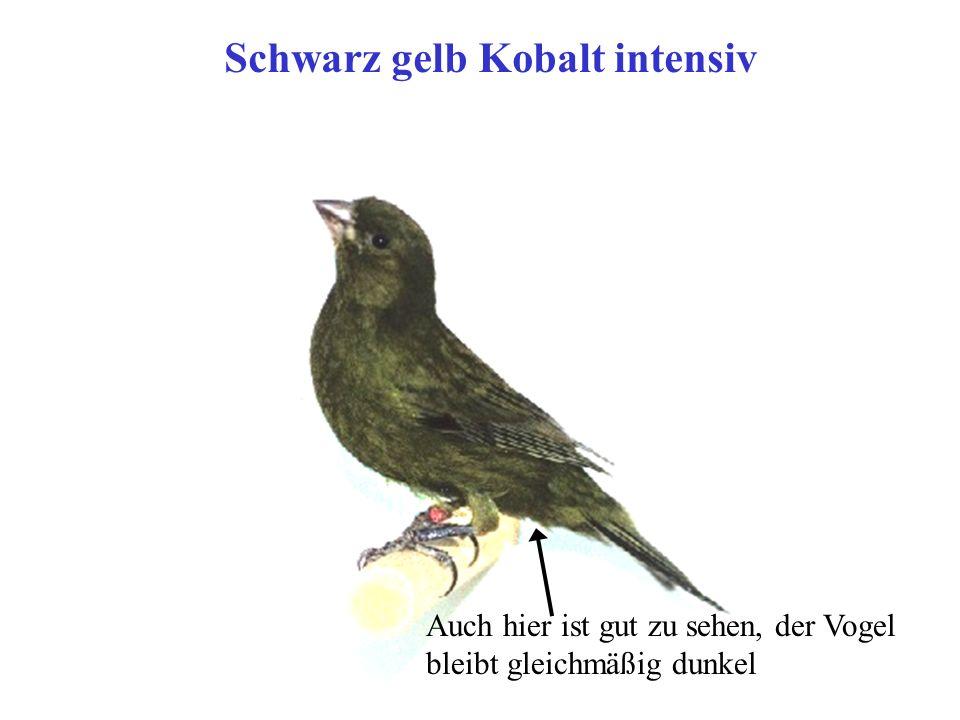 Schwarz gelb Kobalt intensiv Auch hier ist gut zu sehen, der Vogel bleibt gleichmäßig dunkel