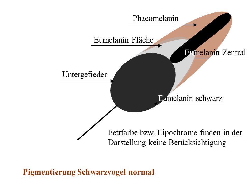 Untergefieder Eumelanin Fläche Phaeomelanin Eumelanin Zentral Eumelanin schwarz Pigmentierung Schwarzvogel normal Fettfarbe bzw. Lipochrome finden in