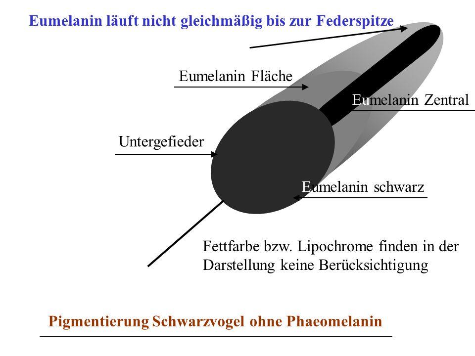 Eumelanin ist in höherer Konzentration bis in die Spitze der Feder gleichmäßig in der Fläche angelagert.