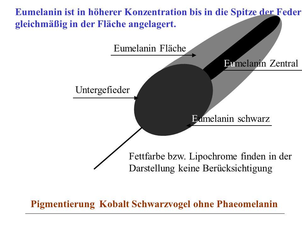 Eumelanin ist in höherer Konzentration bis in die Spitze der Feder gleichmäßig in der Fläche angelagert. Untergefieder Eumelanin Fläche Eumelanin Zent