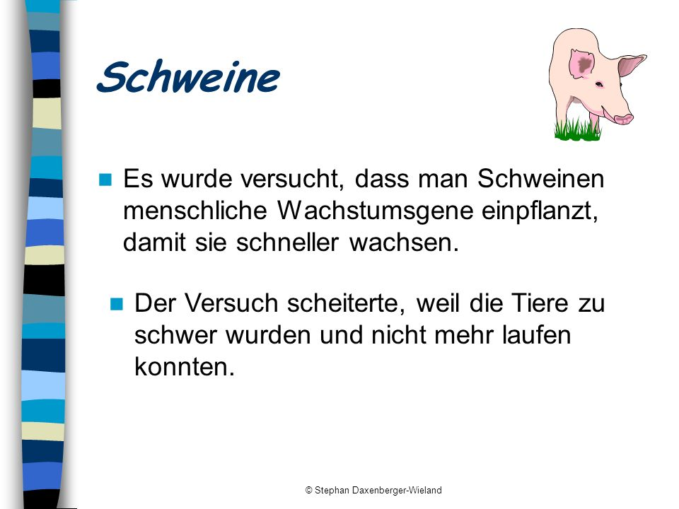 © Stephan Daxenberger-Wieland Schweine Es wurde versucht, dass man Schweinen menschliche Wachstumsgene einpflanzt, damit sie schneller wachsen. Der Ve