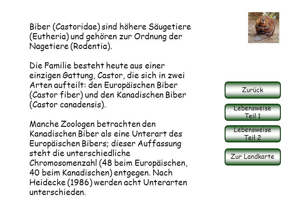 Biber (Castoridae) sind höhere Säugetiere (Eutheria) und gehören zur Ordnung der Nagetiere (Rodentia).