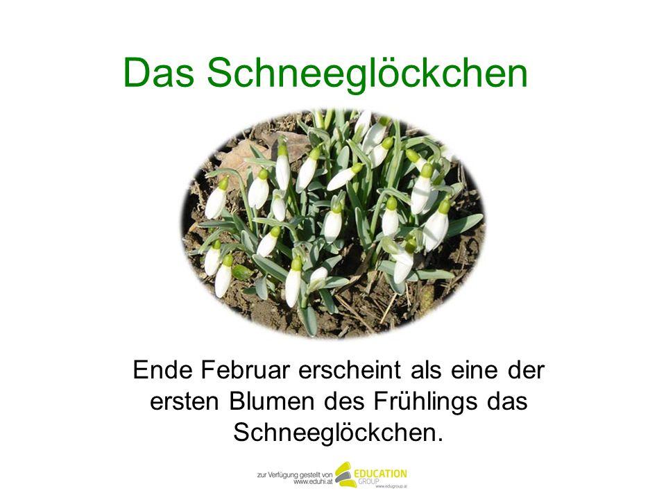 Das Schneeglöckchen Ende Februar erscheint als eine der ersten Blumen des Frühlings das Schneeglöckchen.