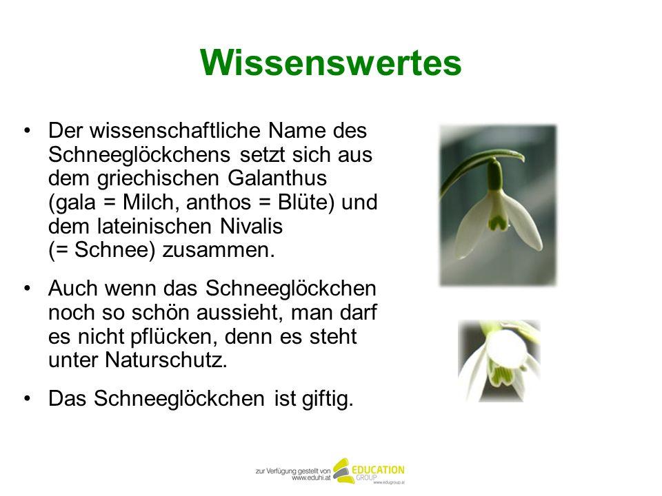 Wissenswertes Der wissenschaftliche Name des Schneeglöckchens setzt sich aus dem griechischen Galanthus (gala = Milch, anthos = Blüte) und dem lateini