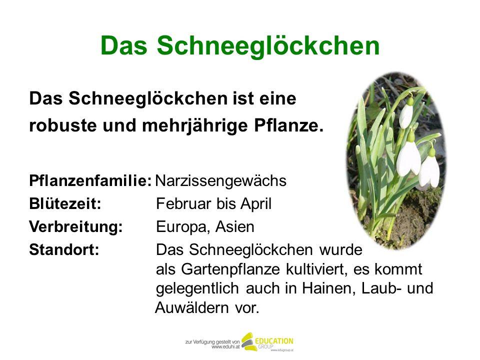 Das Schneeglöckchen Das Schneeglöckchen ist eine robuste und mehrjährige Pflanze. Pflanzenfamilie: Narzissengewächs Blütezeit: Februar bis April Verbr