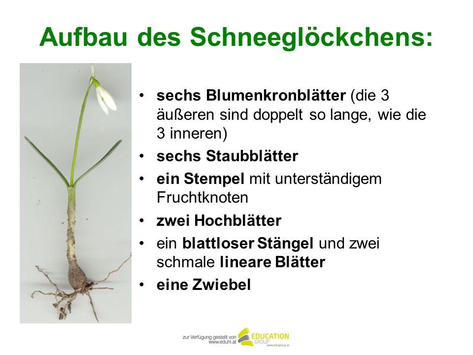 Aufbau des Schneeglöckchens: sechs Blumenkronblätter (die 3 äußeren sind doppelt so lange, wie die 3 inneren) sechs Staubblätter ein Stempel mit unter