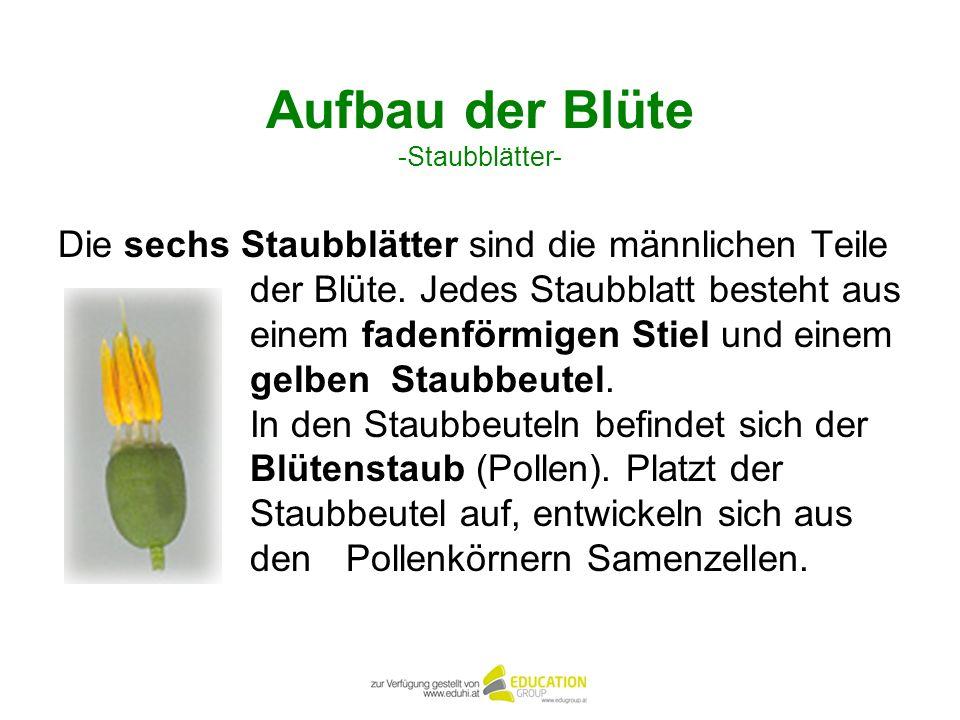 Aufbau der Blüte -Staubblätter- Die sechs Staubblätter sind die männlichen Teile der Blüte. Jedes Staubblatt besteht aus einem fadenförmigen Stiel und