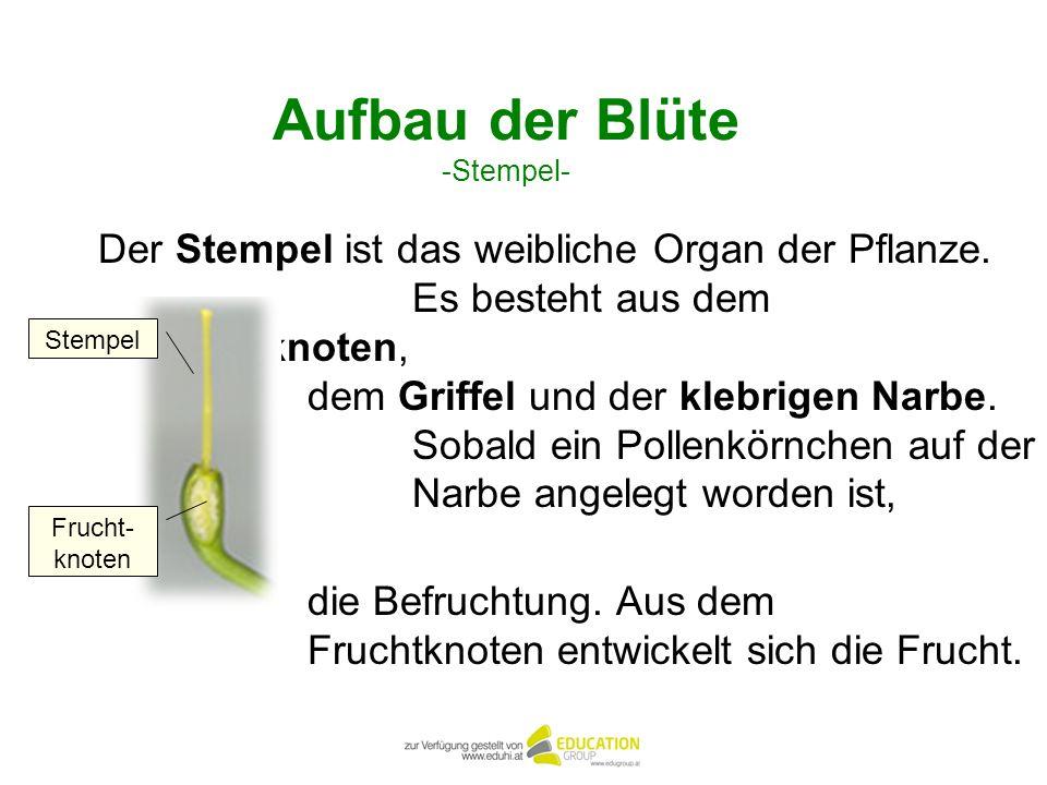 Aufbau der Blüte -Stempel- Der Stempel ist das weibliche Organ der Pflanze. Es besteht aus dem Fruchtknoten, dem Griffel und der klebrigen Narbe. Soba